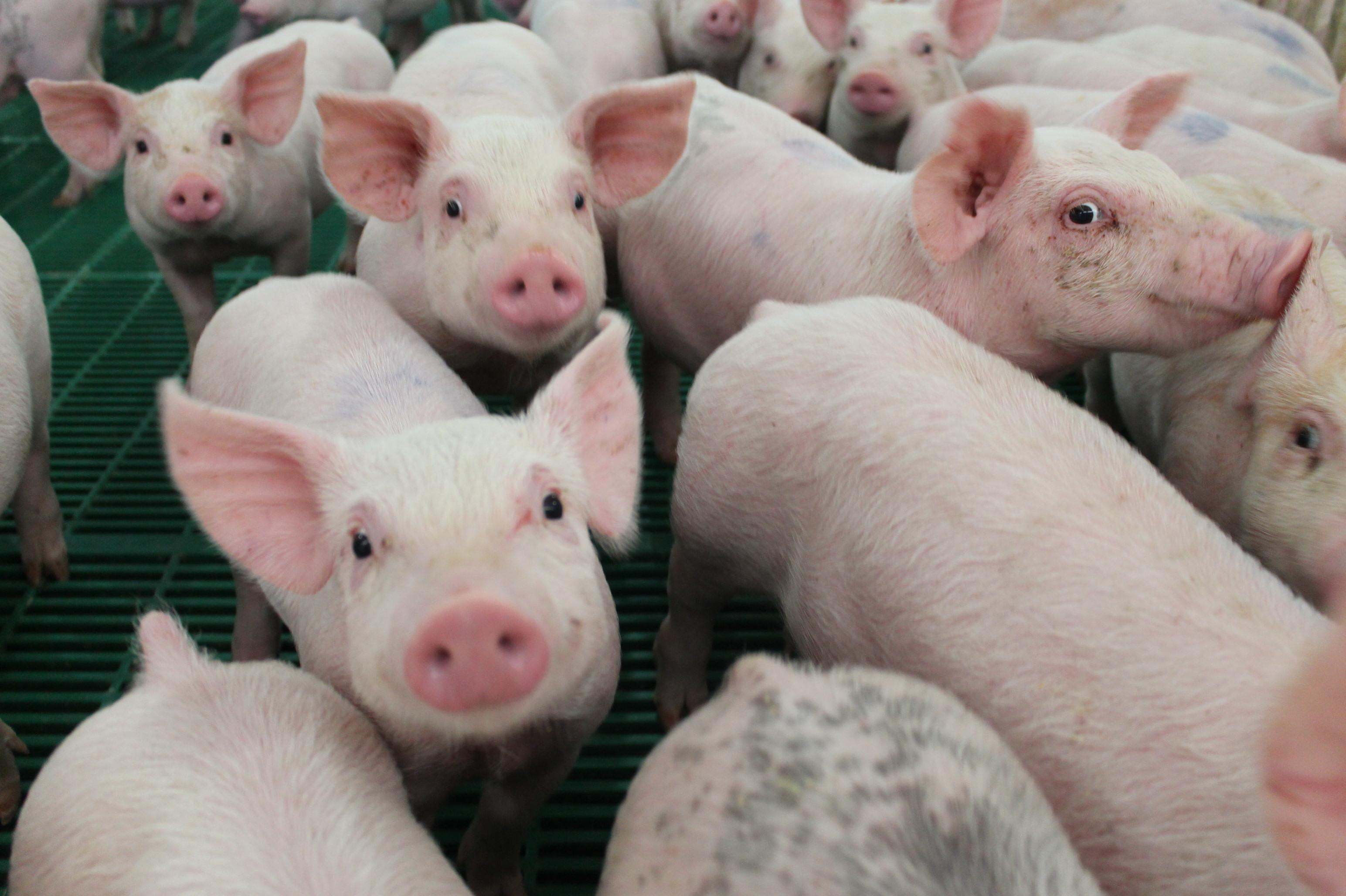 Английские свиньи звонят во все колокола