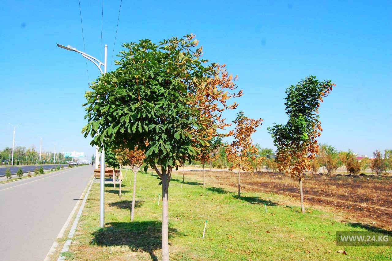 Алматинцы бьют тревогу: высаженные акиматом деревья сохнут
