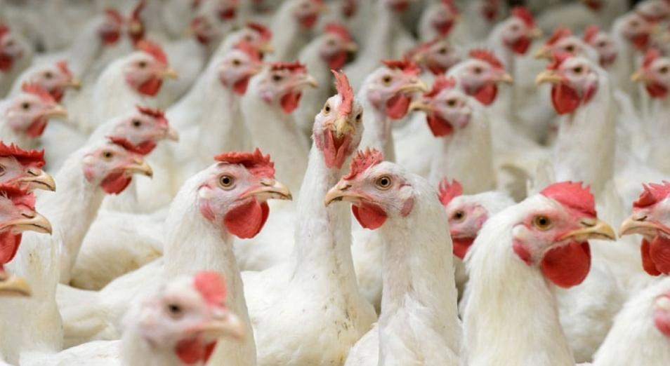 Несколько птицефабрик в СКО пытаются через суд заставить вернуть ранее полученные субсидии