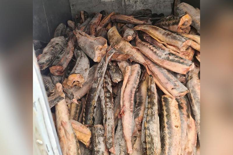 В Мангистауской области в тайнике обнаружили тонны замороженного осетра