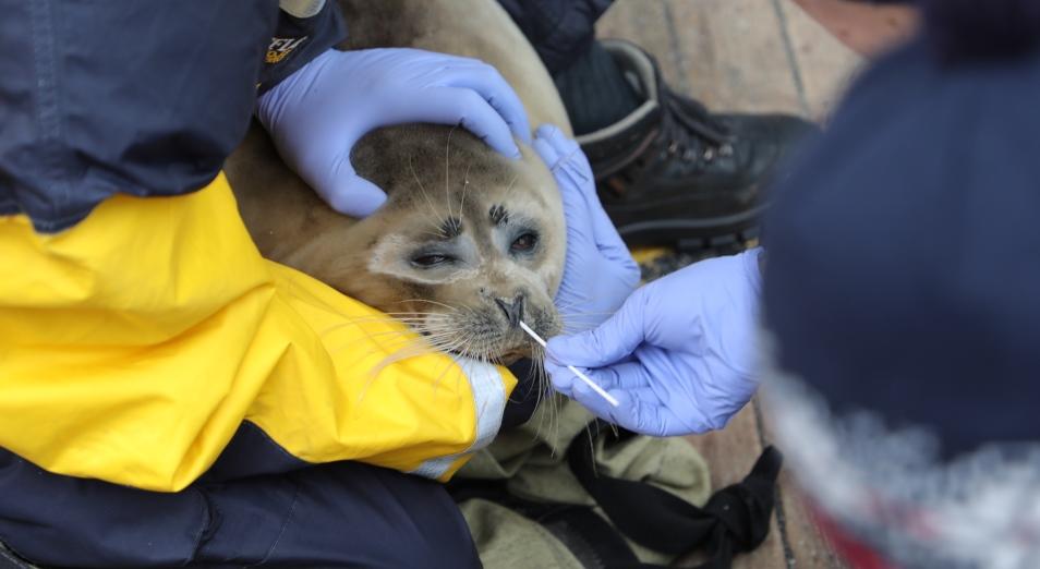 Компания NCOC N.V. инициировала проведение комплексных исследований популяции каспийского тюленя