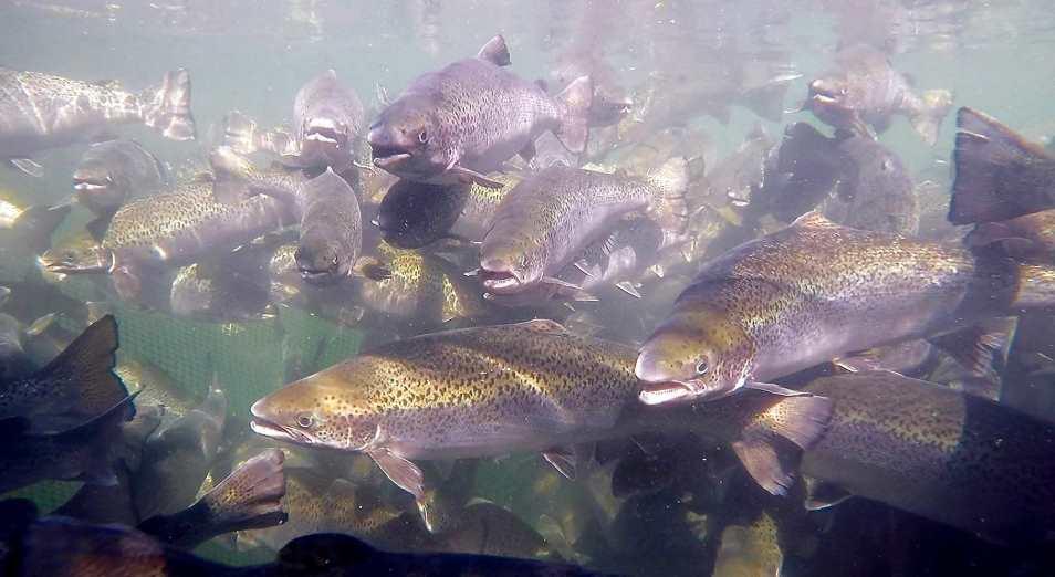 Карагандинский бизнес намерен вылавливать лосося у соседей