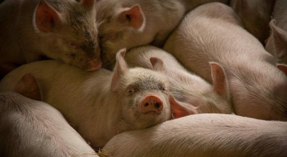 Английские фермеры уничтожают поголовье свиней