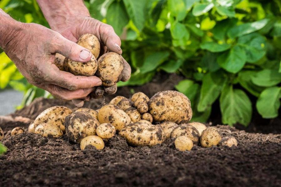 В Павлодарской области увеличили посевы гречихи и картофеля