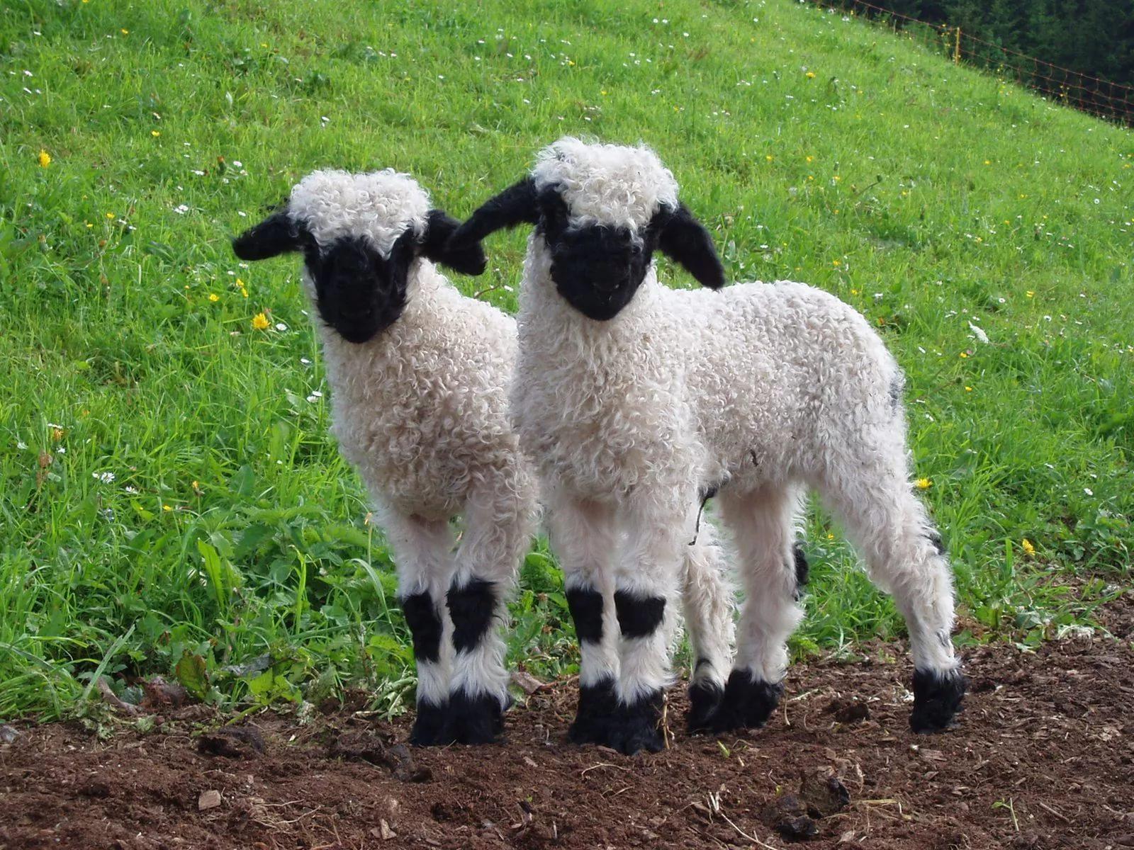 Когда МСХ РК может ввести квоты на вывоз живых овец