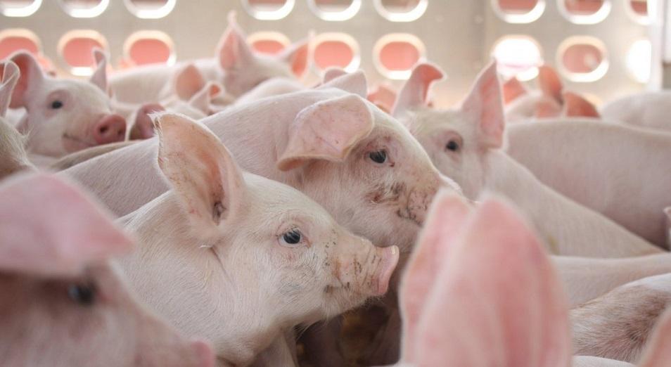 Свиньям подложили «свинью»