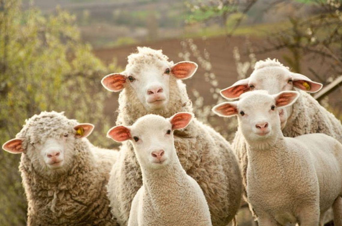 В Казахстане планируют прокредитовать 11 000 хозяйств по овцеводству