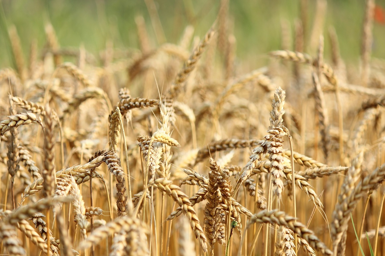 Цена на пшеницу достигла нового рекорда