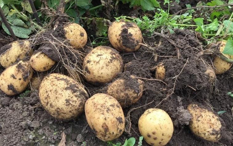 ЕЭК рассмотрит предложение Кыргызстана об обнулении ввозной пошлины на семенной картофель
