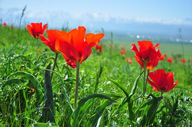 В Туркестане пройдет фотовыставка тюльпанов