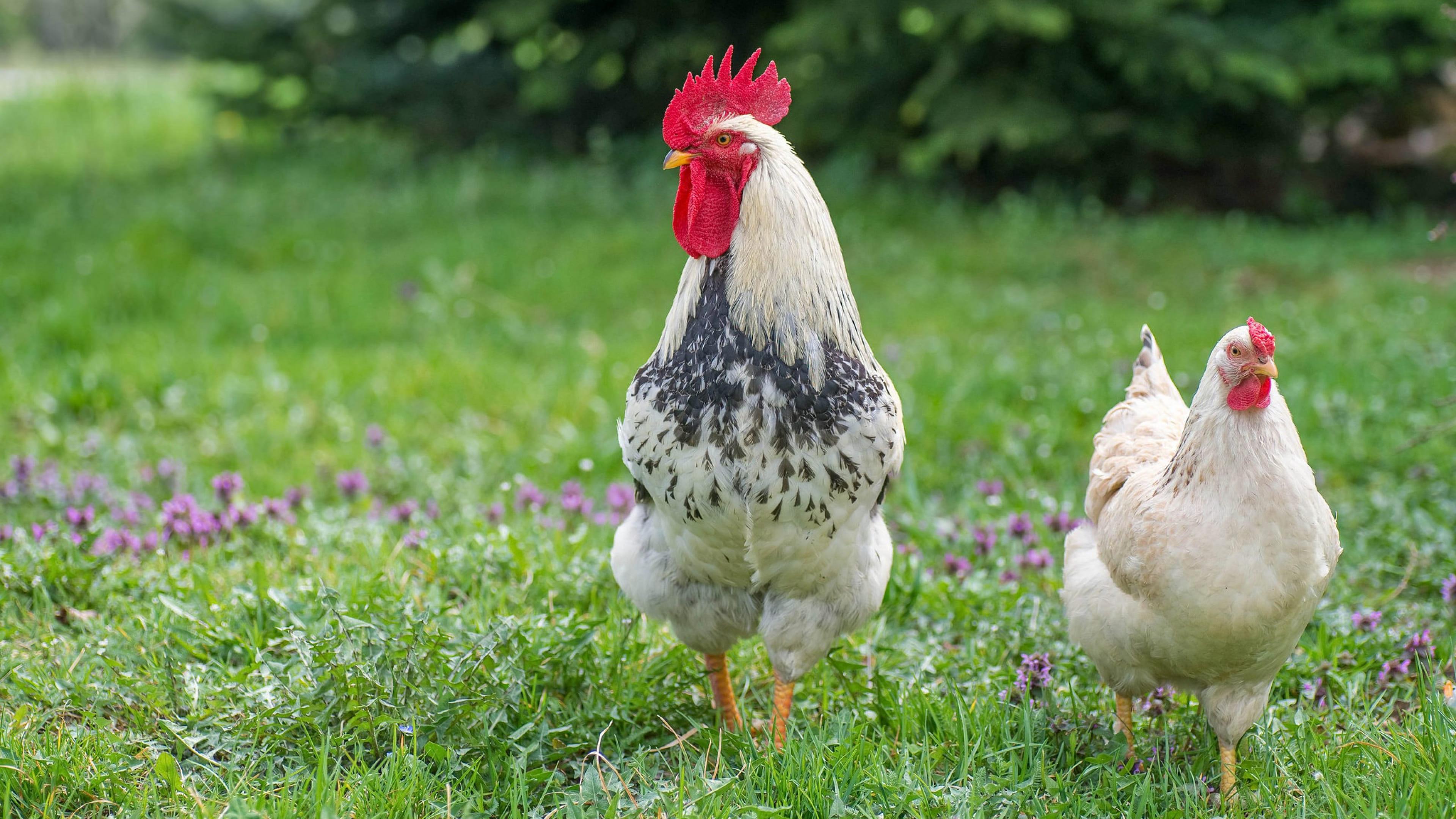 Карантин из-за птичьего гриппа ввели в селе Павлодарской области