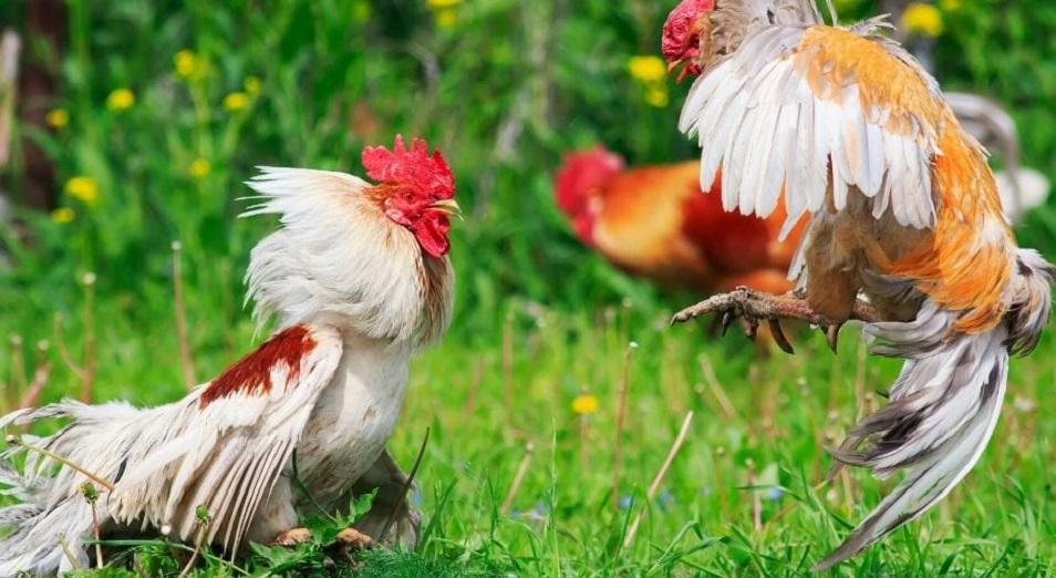 Госорганы судятся с североказахстанскими птицефабриками из-за яиц