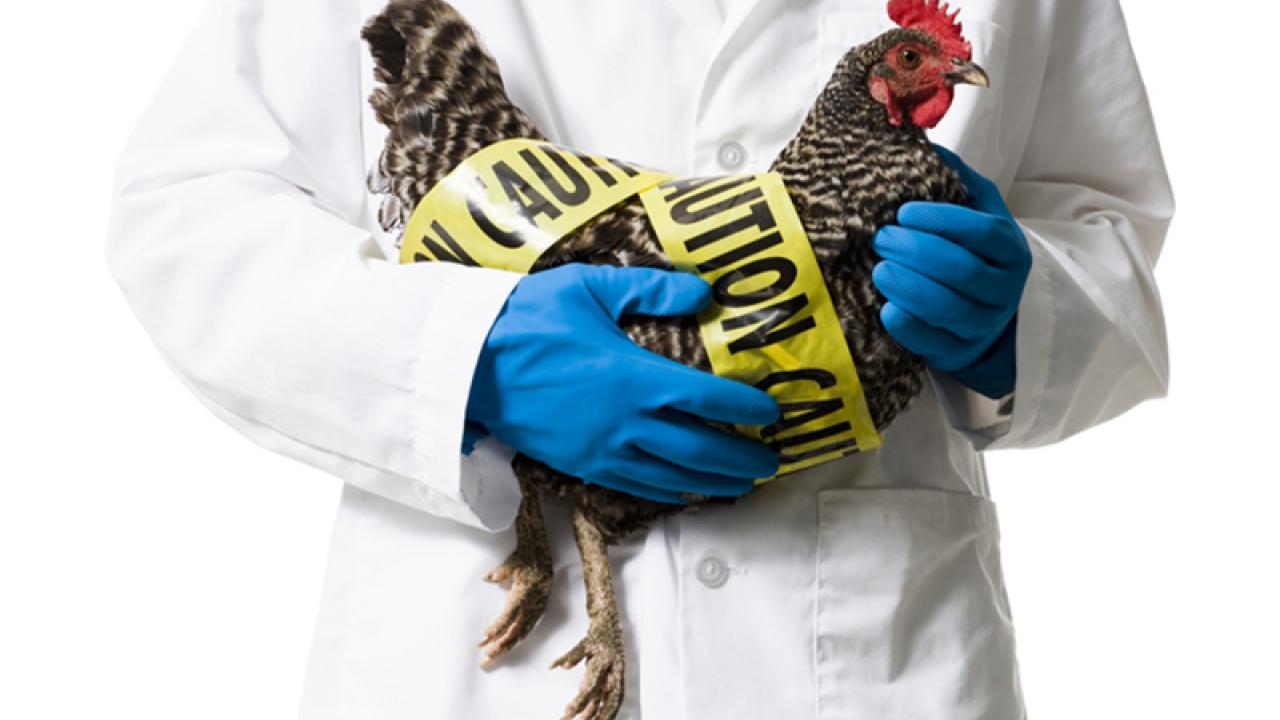 Карантин ввели в селе Павлодарской области из-за гриппа птиц