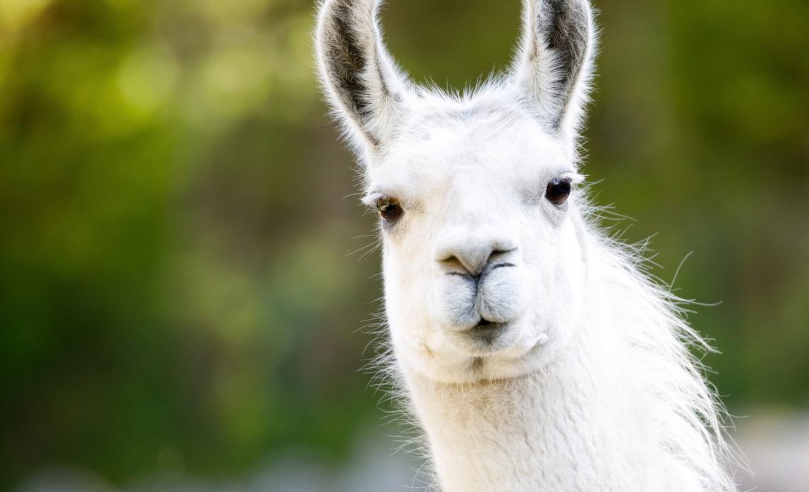 Спреем с нанотелами ламы хотят лечить коронавирус