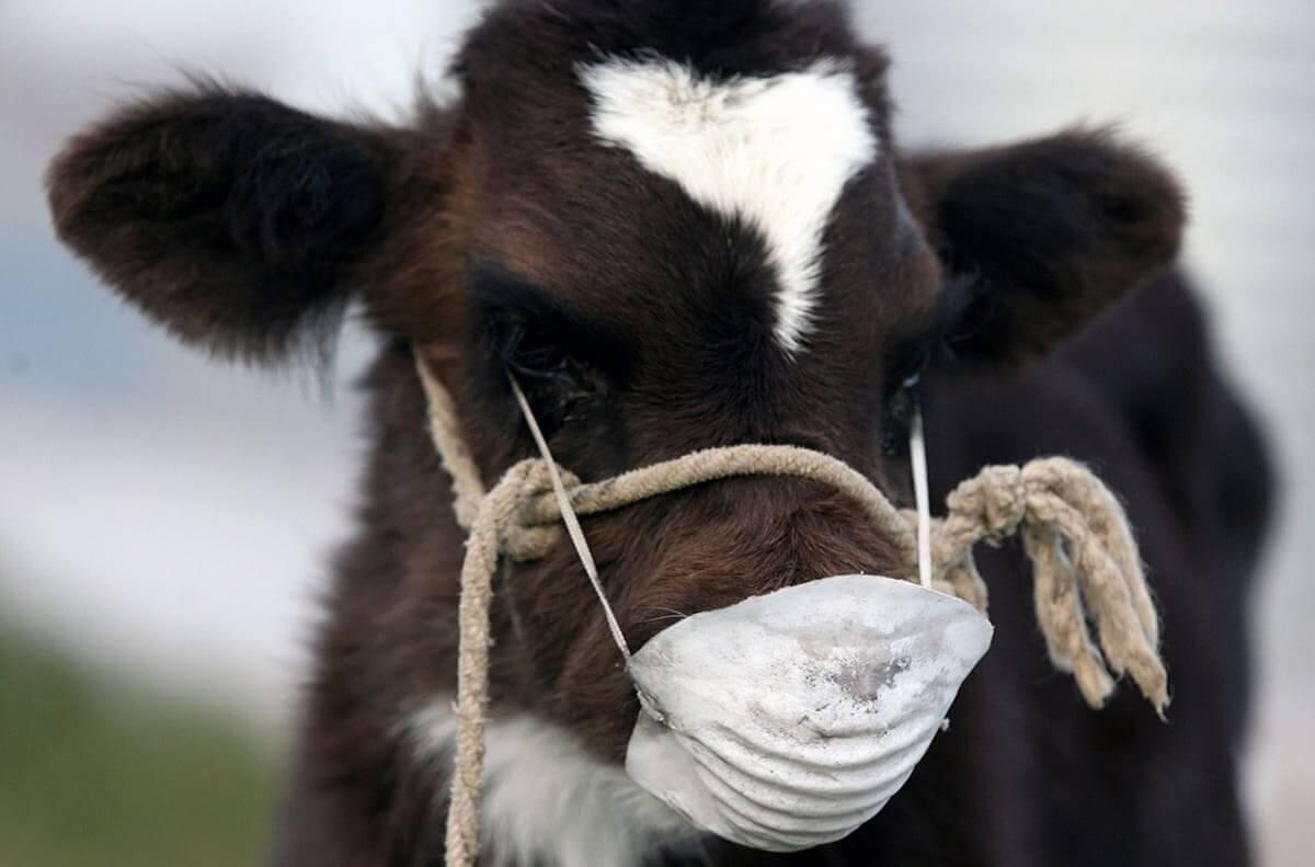 У коров отваливаются языки – жители села в Павлодарской области в панике