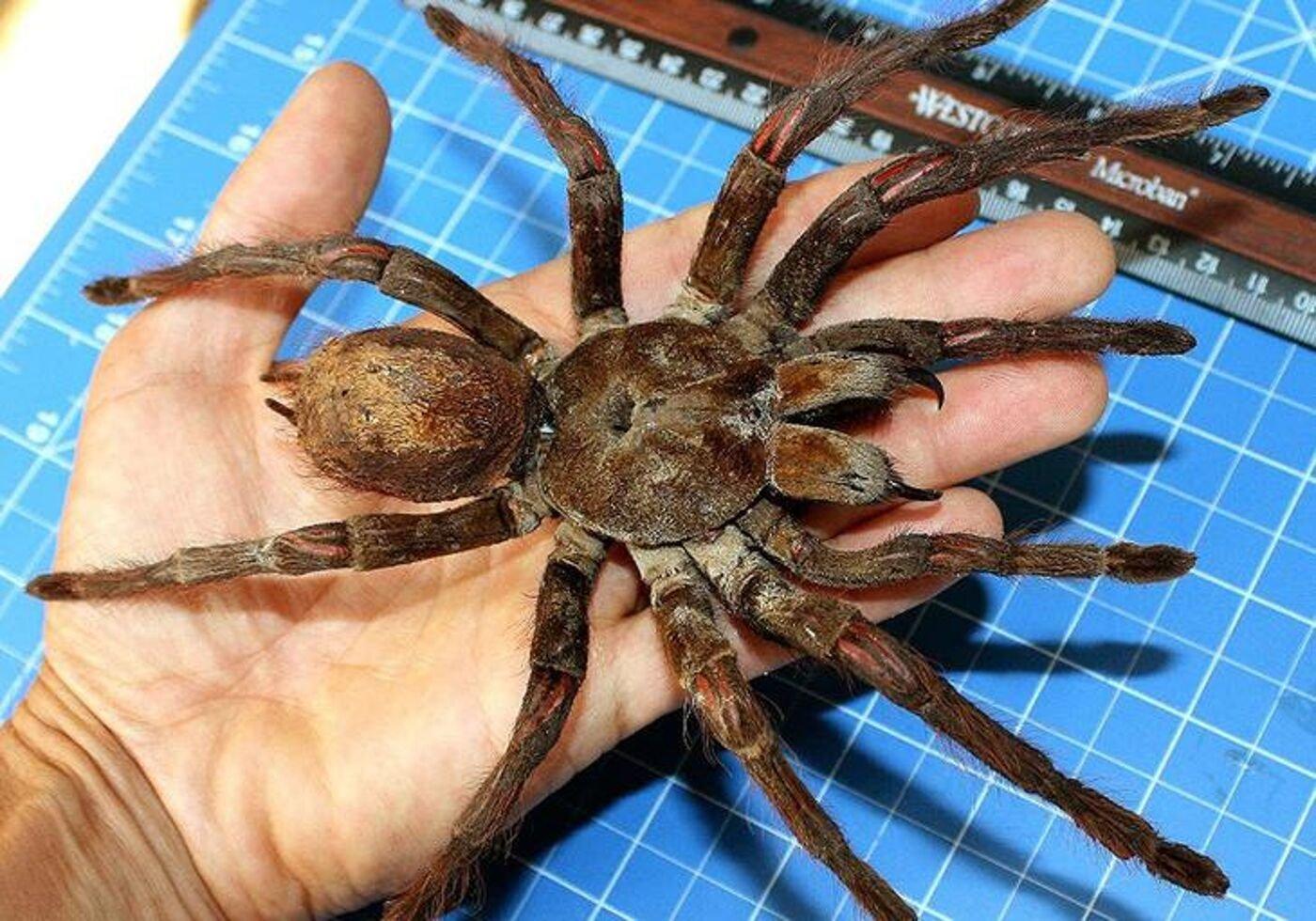 Массовое скопление тарантулов размером со смартфон наблюдают в США