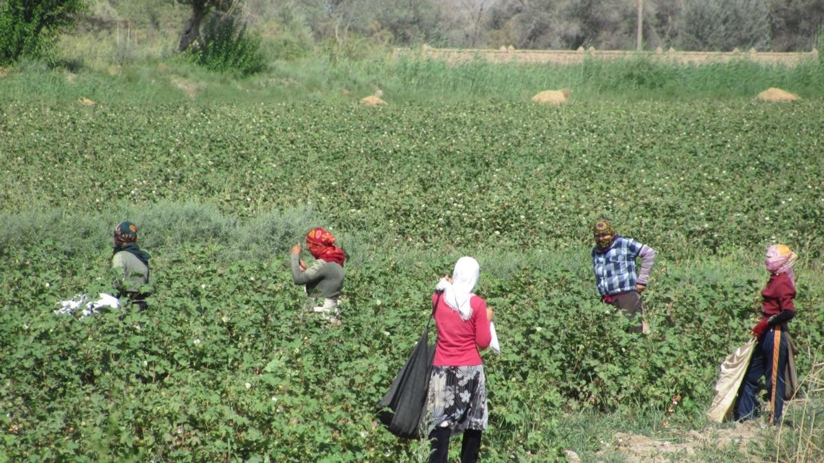 Мигранты, алкоголики и проститутки собирают хлопок в Туркменистане