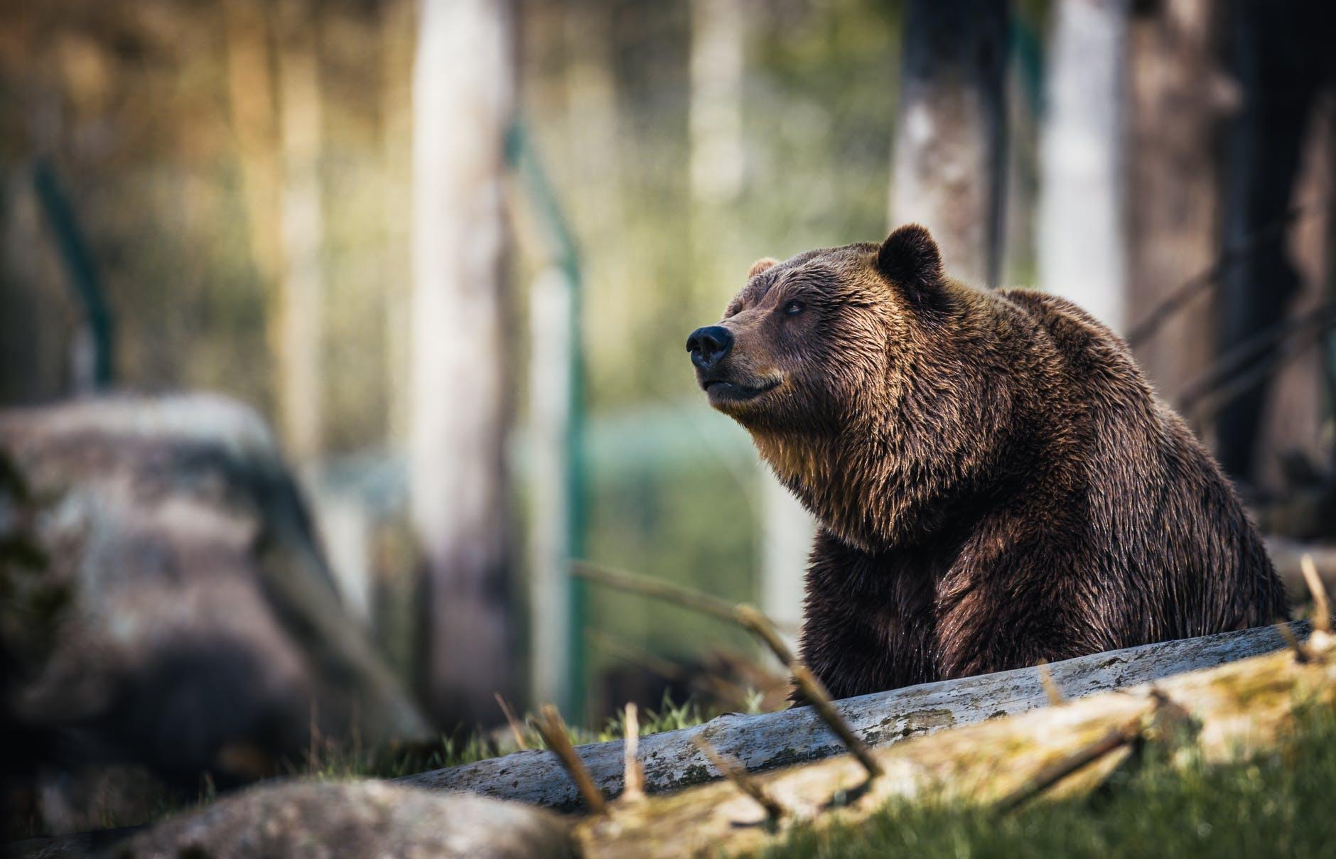 На Аляске случайно спасли мужчину, неделю отстреливавшегося от медведя