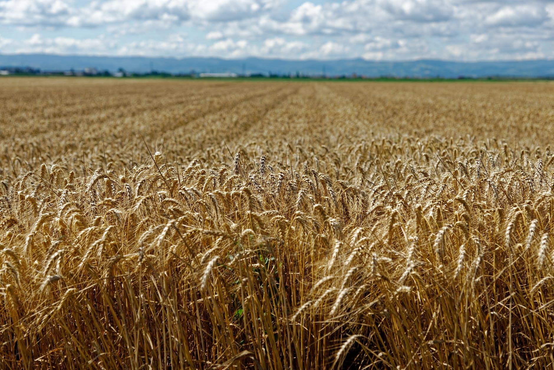 Минсельхоз США не меняет прогноз по казахстанской пшенице
