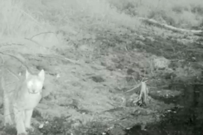 В Боровом появились рыси