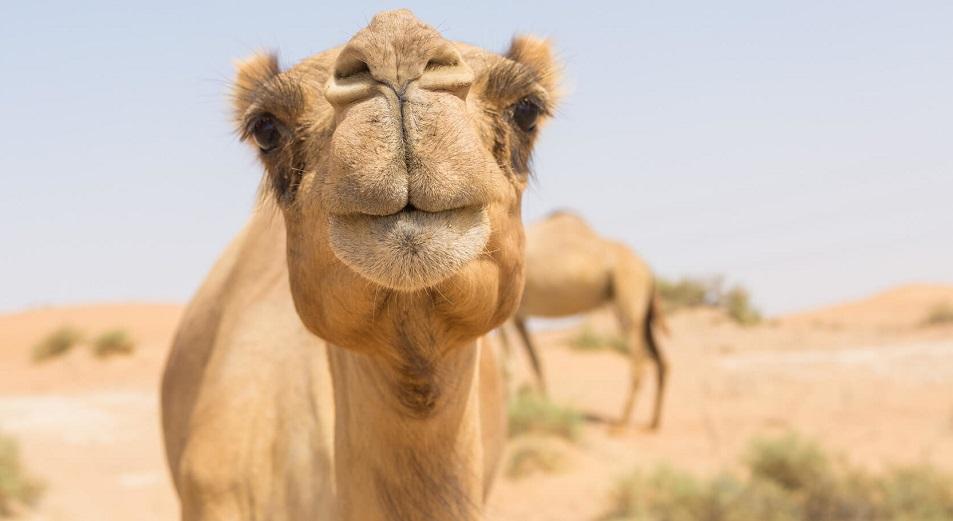 Camel milk разольют в Мангыстау