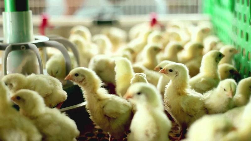 Иностранные инвесторы заинтересовались костанайскими птицефабриками