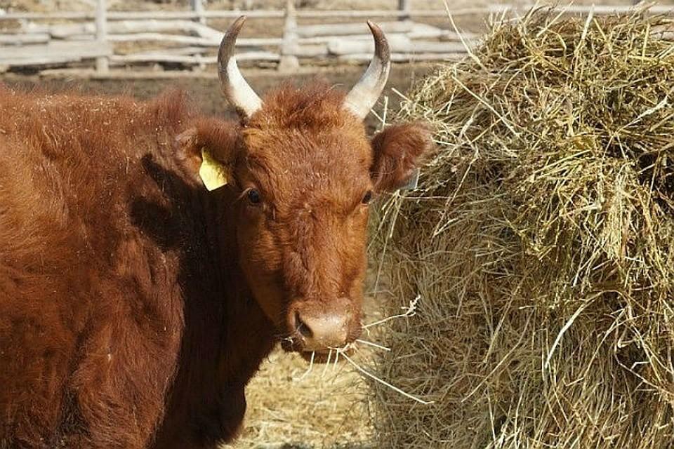 Около трех тысяч голов скота завезли в СКО с начала года
