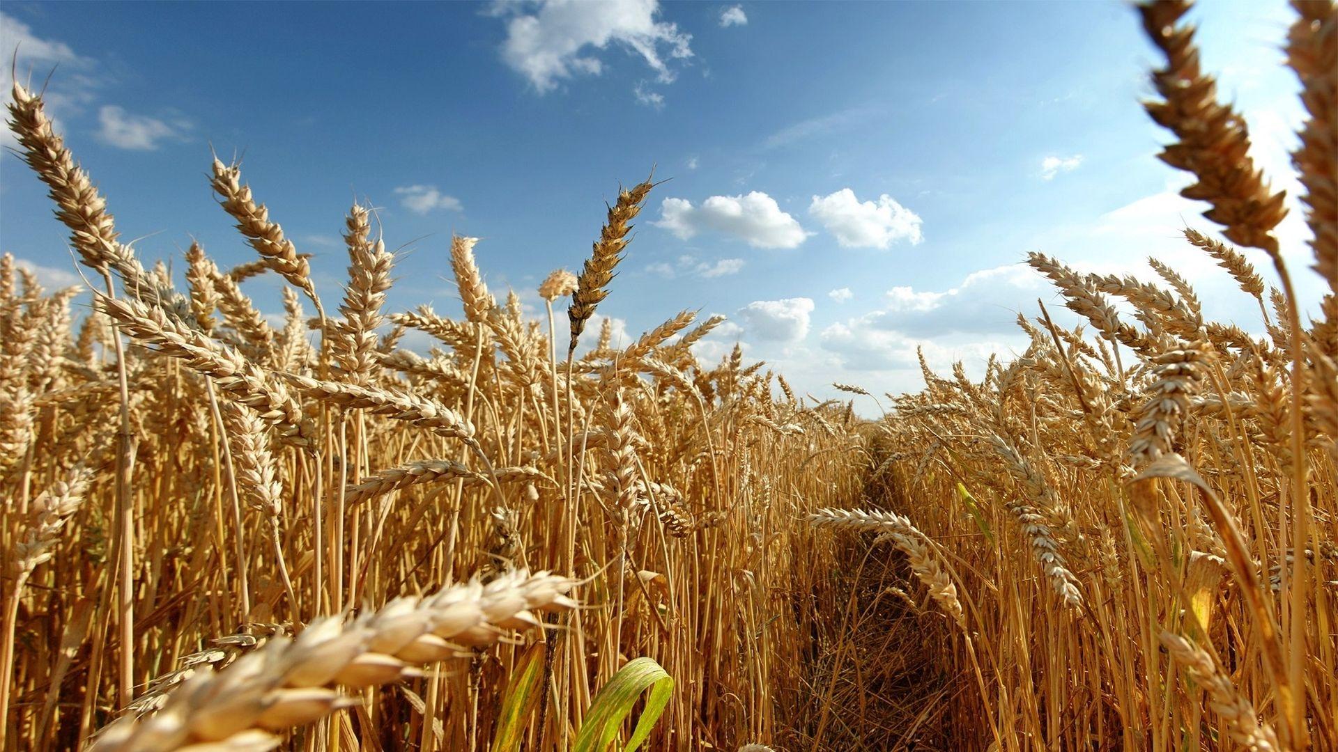 20,5 млн тонн зерна намолочено в Казахстане
