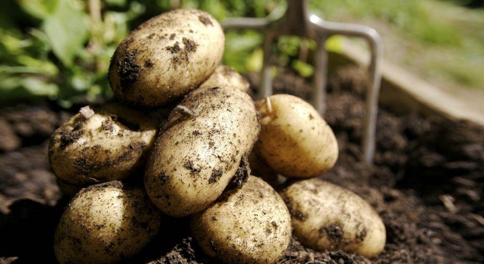 Павлодарских аграриев готовят к выращиванию технического картофеля