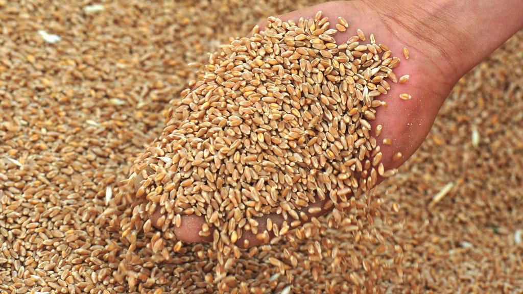 Рост цен на зерно не исключают в Минсельхозе