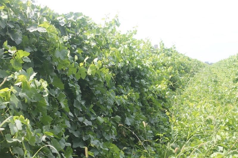 Декхане Туркестанской области собирают по 25 тонн винограда с гектара