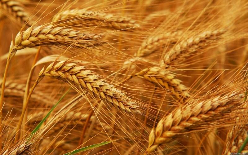 Минсельхоз США в августе повысил прогноз производства и экспорта казахстанской пшеницы в 2018/19 с/х году