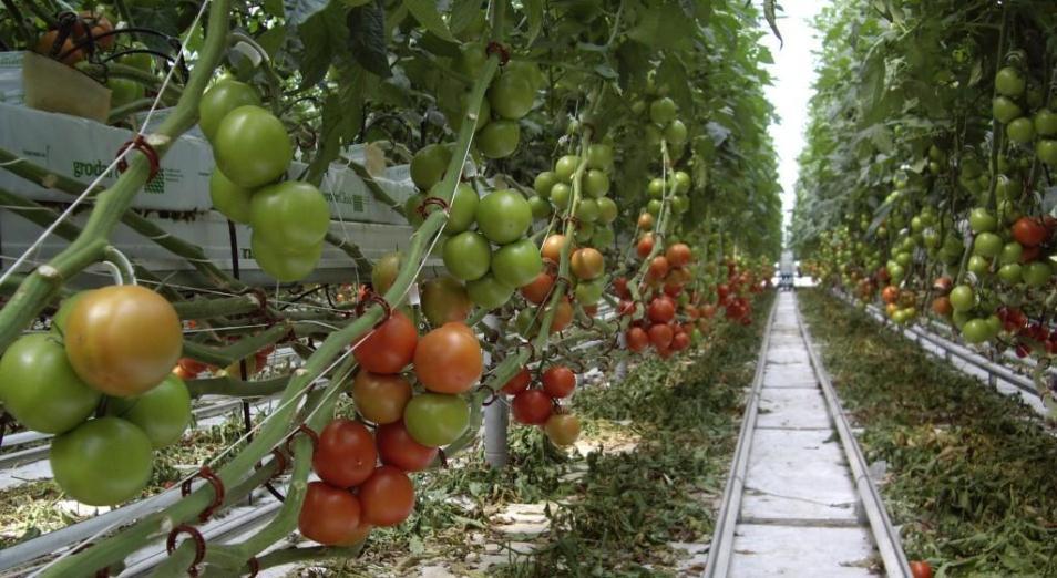 Казахстанские помидоры на вкус дороже узбекских