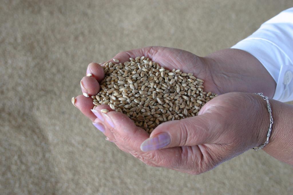 Минсельхоз США ухудшил прогноз производства казахстанской пшеницы в текущем сельхозгоду до 12,5 млн тонн