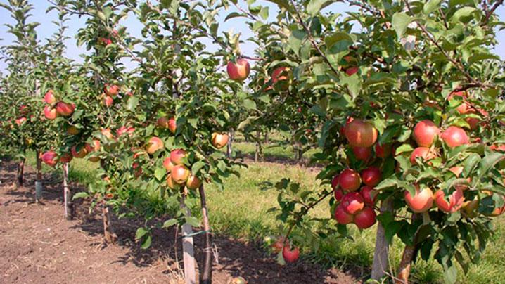 Площади яблоневых садов увеличат в Алматинской области