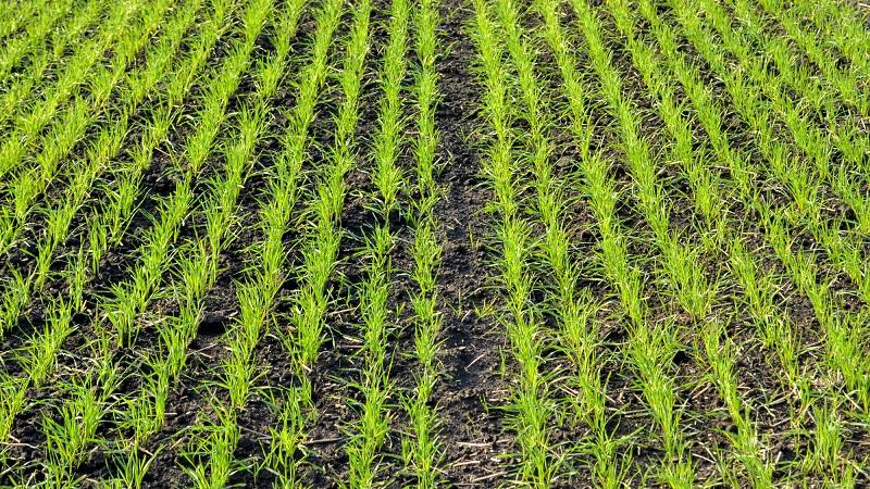Несмотря на анонсированные минсельхозом очаги, павлодарским посевам саранча не угрожает