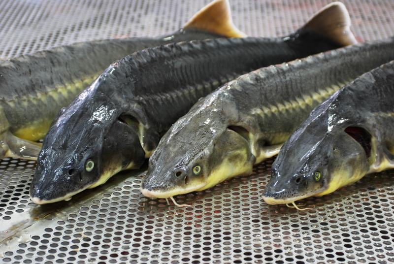 226 млн тенге выплатят браконьеры в Атырау за незаконный вылов осетровых
