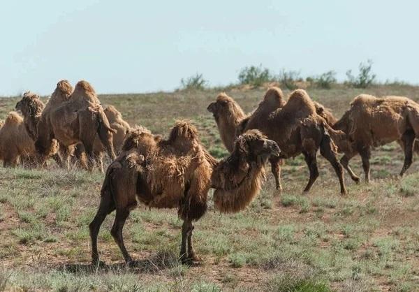 Ветеринары исключили ящур и ряд других заболеваний у болеющих с осени верблюдов в Мангистауской области