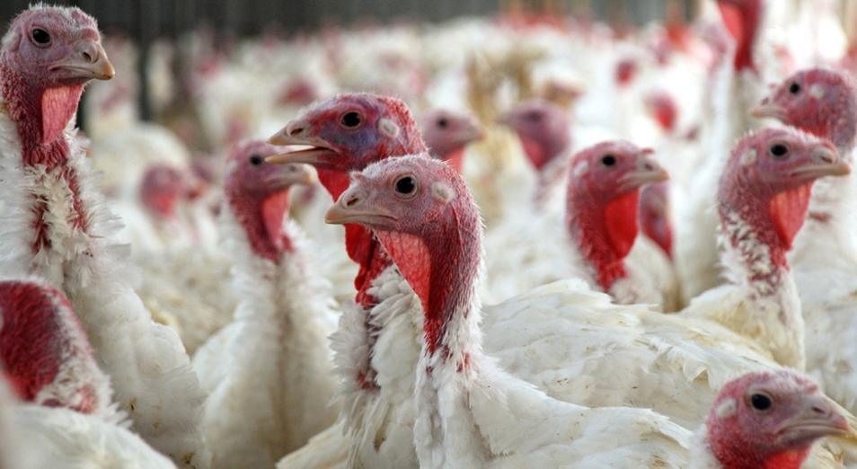 Количество производителей мяса индейки в Казахстане может увеличиться до двух