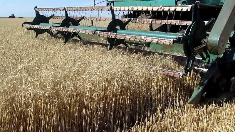 Уборку зерновых возобновили в Костанайской области