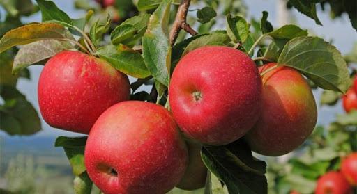 Минсельхоз намерен за четыре года вернуть рынок казахстанским яблокам