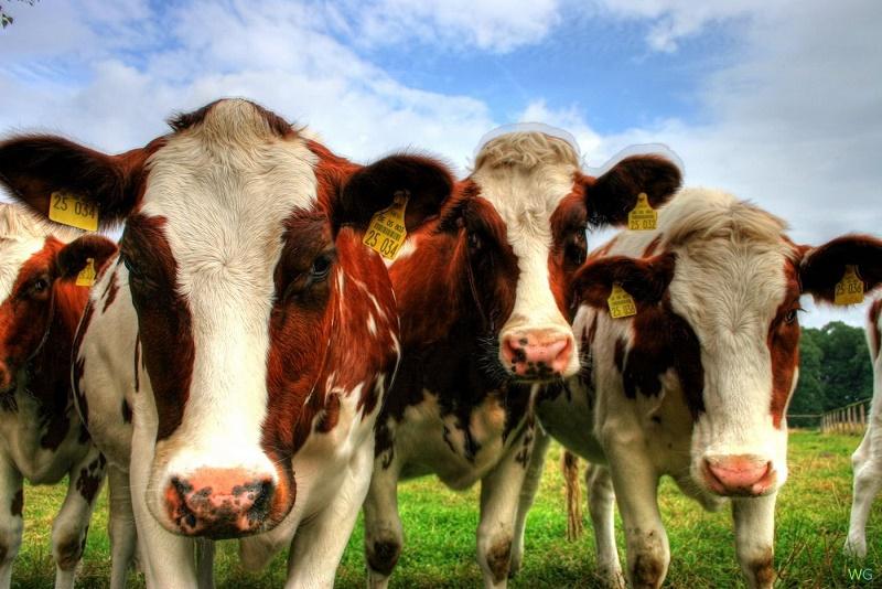 В смерти 120 коров в Актюбинской области винят ядовитый сорняк