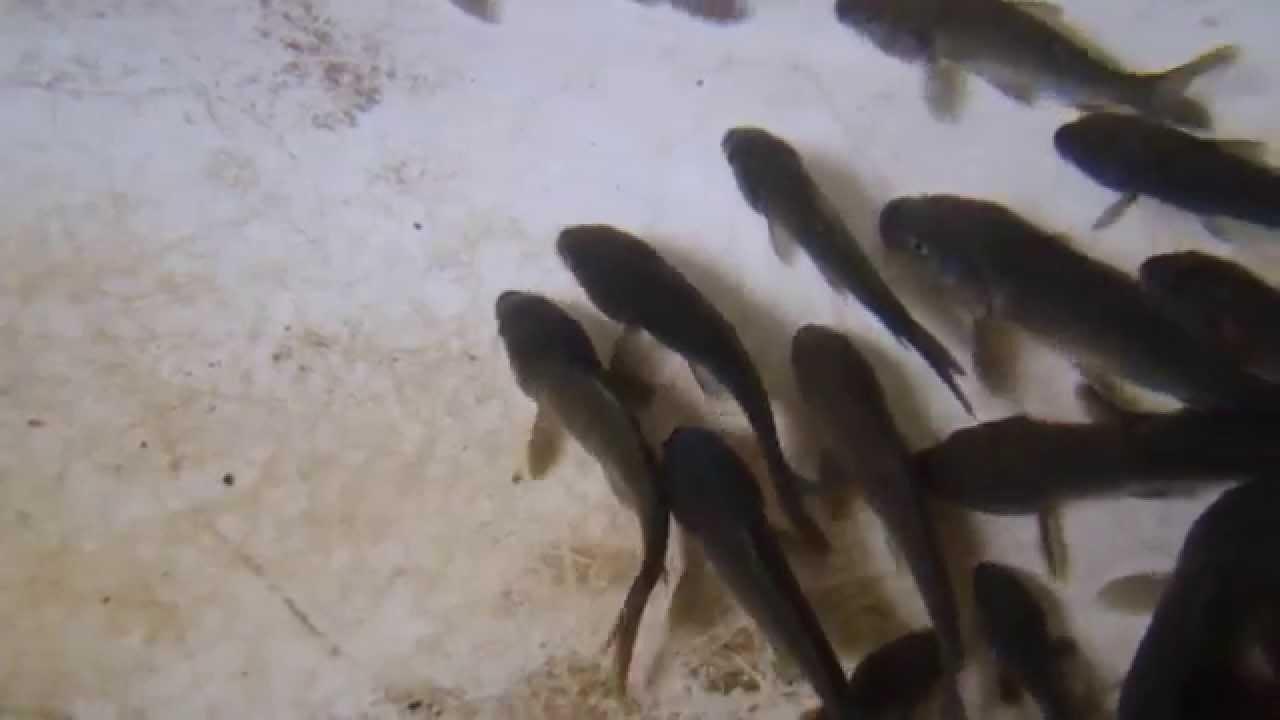 60 миллионов «ценных» мальков выпущены в водоемы Казахстана