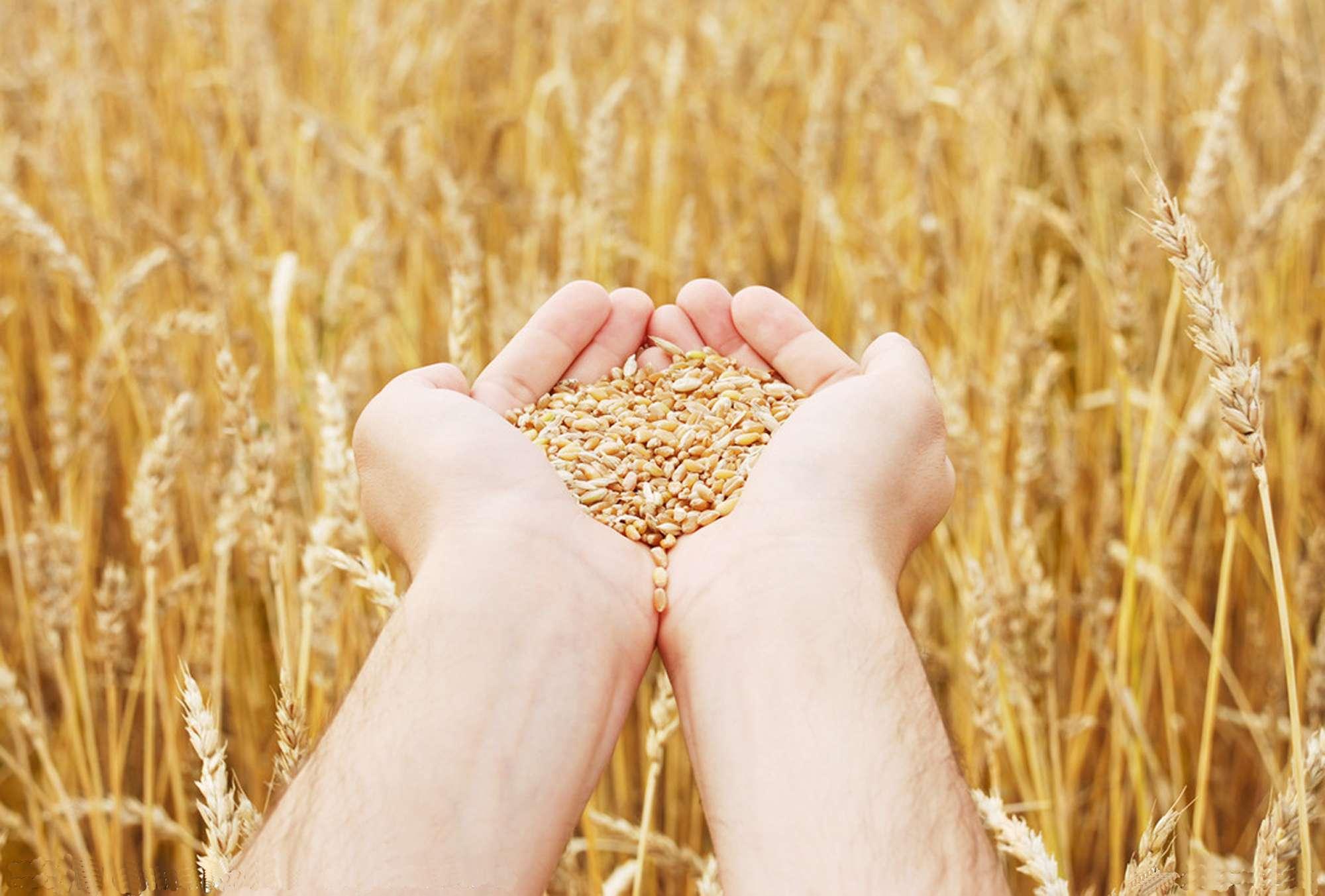 Сколько намолотили зерна аграрии Казахстана