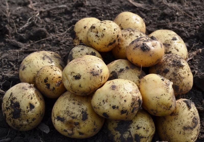 Костанайские овощеводы начали уборку с опозданием