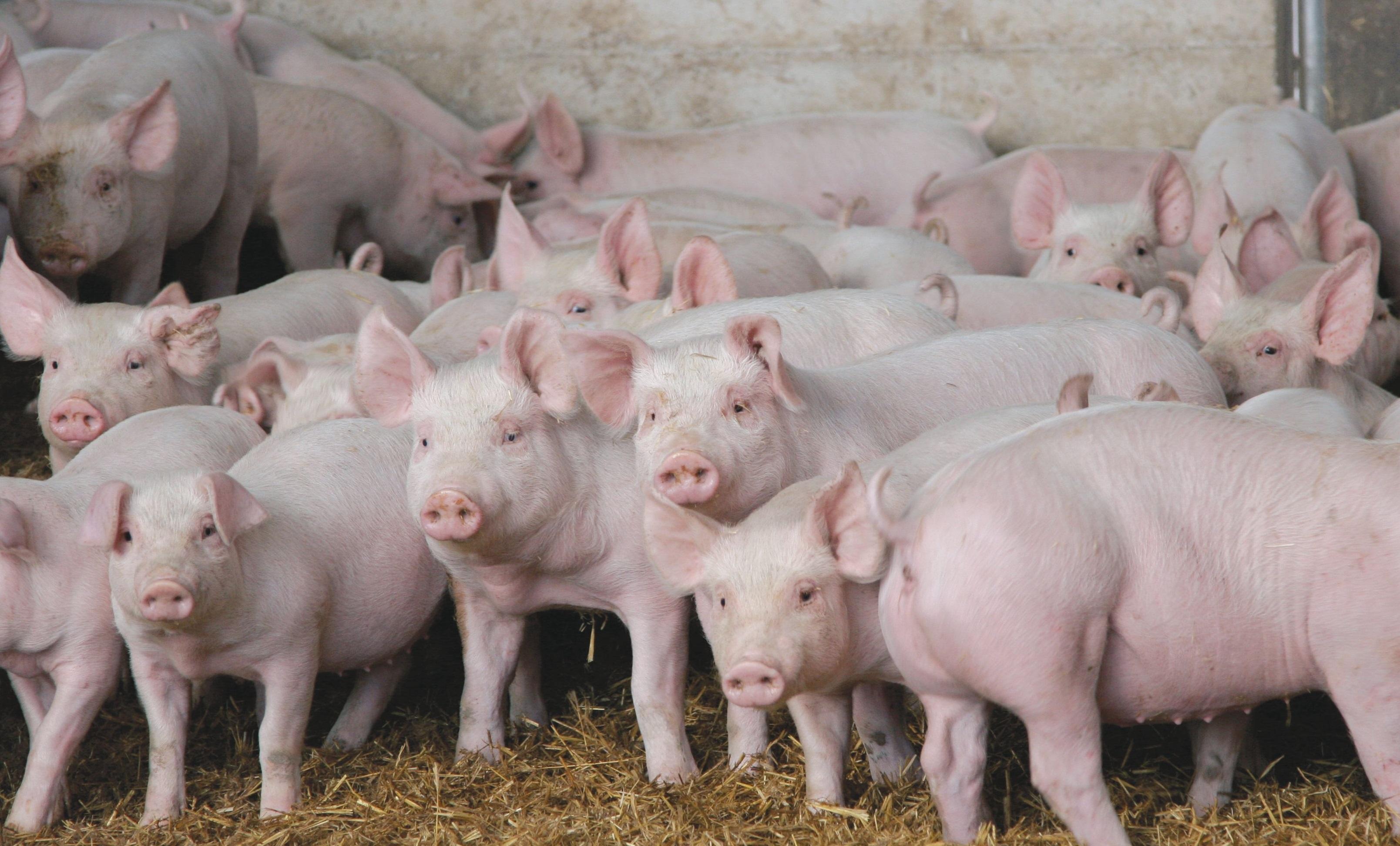 В Китае зафиксировано пять вспышек чумы свиней