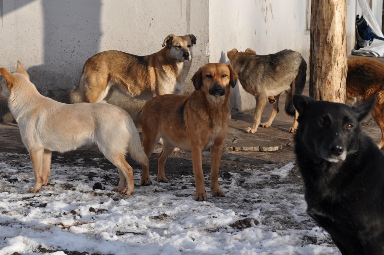 С начала года в Павлодаре изловили и усыпили более трёх тысяч бродячих животных