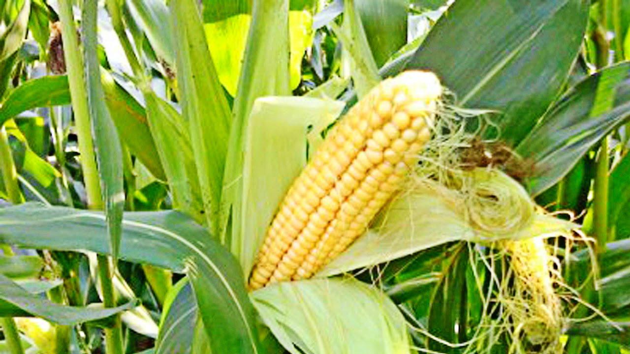 Казахстан будет поставлять ячмень и кукурузу на китайский рынок