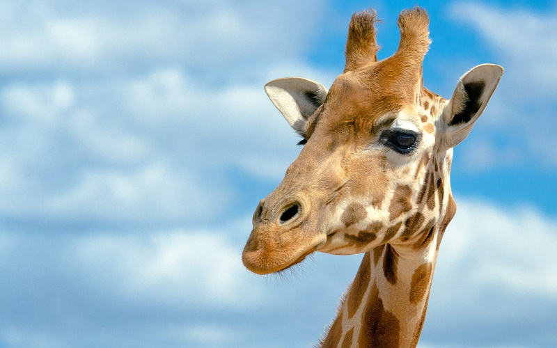 В зоопарке Алматы умерла жираф Грация