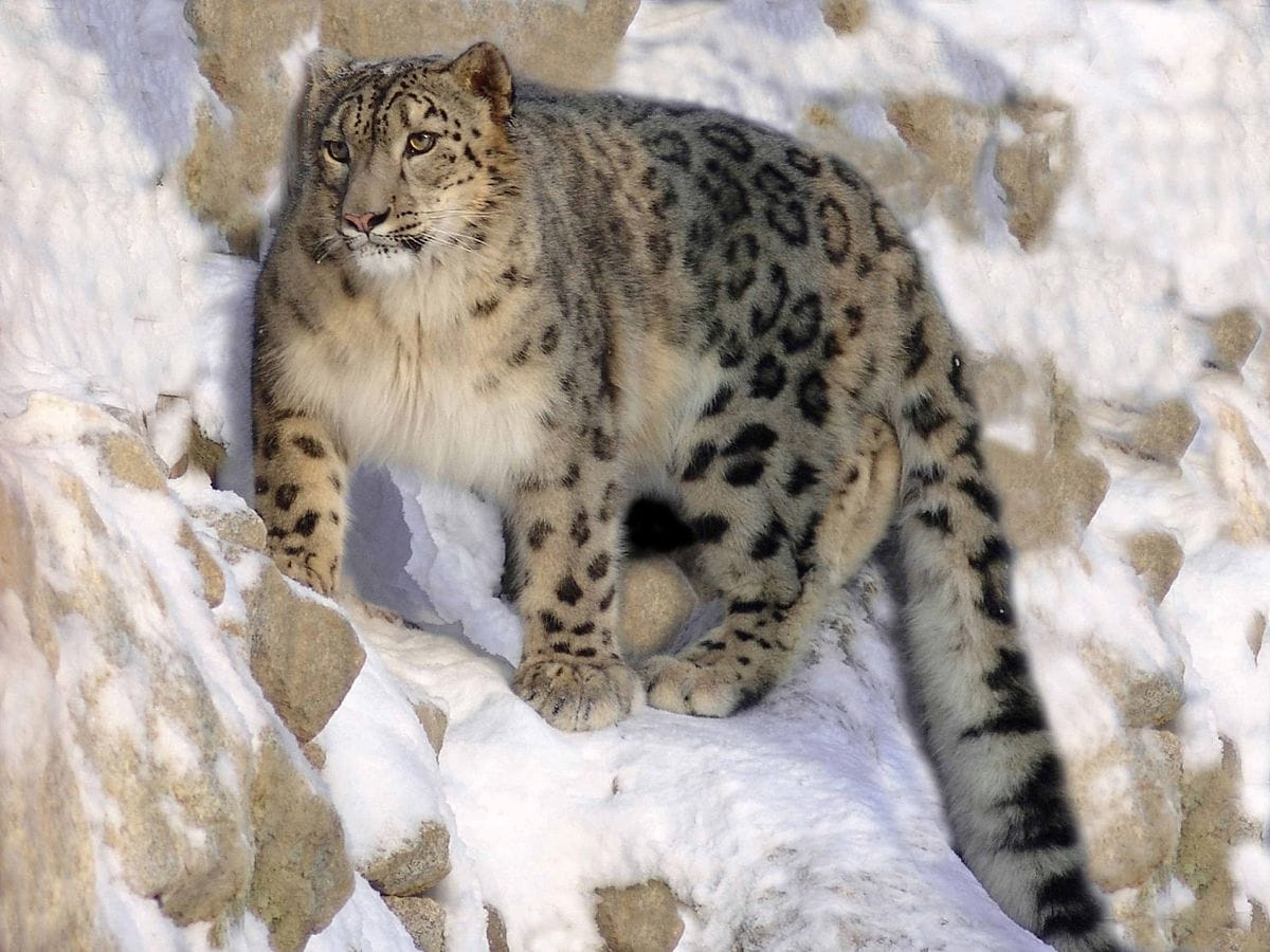 В горах Туркестанской области обитают семь снежных барсов